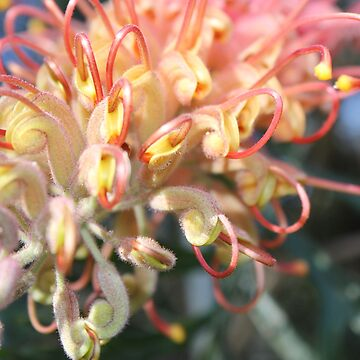 "Grevillea ""Robyn Gordon"" by YellowGecko"