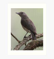 ''Male Leaden-flycatcher'' Art Print