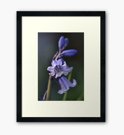 Blues of Bluebells Framed Print