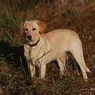 Labrador Retriever by ArkansasLisa