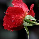 Rose Water by Gary Fairhead