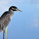 Yellow-Crowned Night-Heron by Jeff Ore