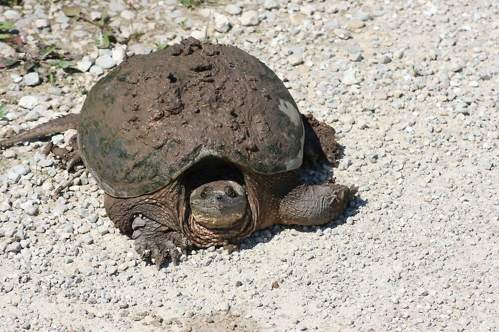 Snapping Turtle by eaglewatcher4