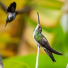 Strike a pose - Black throated mango by Land of the Hummingbird