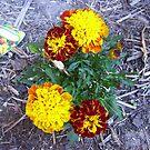 Marigold opposites by AmandaWitt