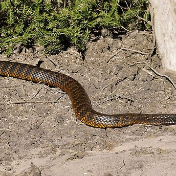 Tiger Snake by Grandalf