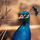 Portrait of a Peacock by Danny Roozen