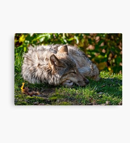 Sleeping Timber Wolf Canvas Print