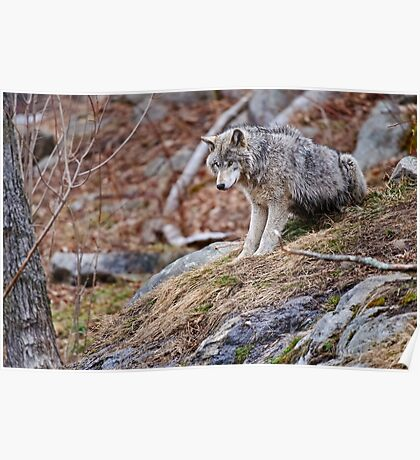 Timber Wolf sitting on Rocks Poster