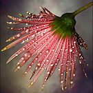 Gerbera by Helenvandy
