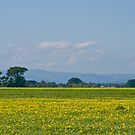 Spring daisies in the fields near Iona in the Cardinia Swamp. by johnrf