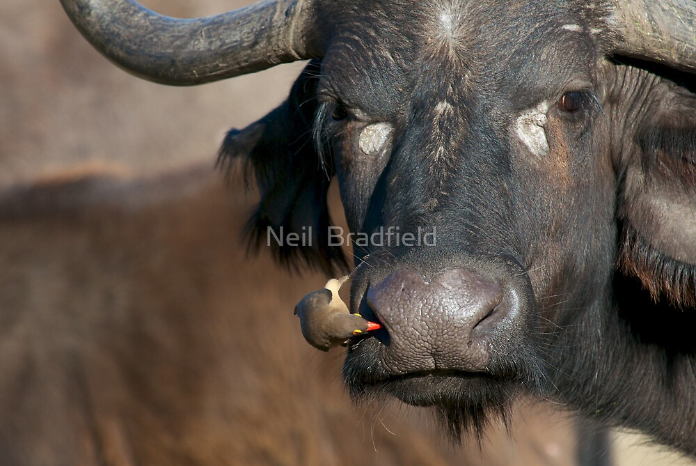African Buffalo by Neil  Bradfield