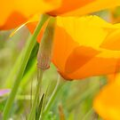 California Poppies in the Wind by Mariola Szeliga