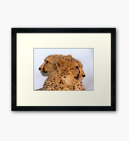 Two Headed Cheetah? Framed Print