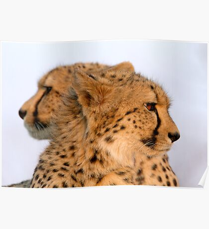 Two Headed Cheetah? Poster