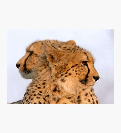 Two Headed Cheetah? Photographic Print