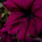Royal Magenta Pansy by lillijy97