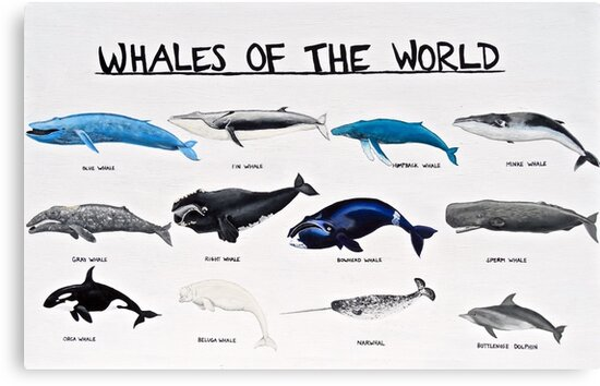 Quot Whales Of The World Chart Quot Canvas Print By Aubreysmile