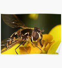 Hoverfly on yellow flower Poster