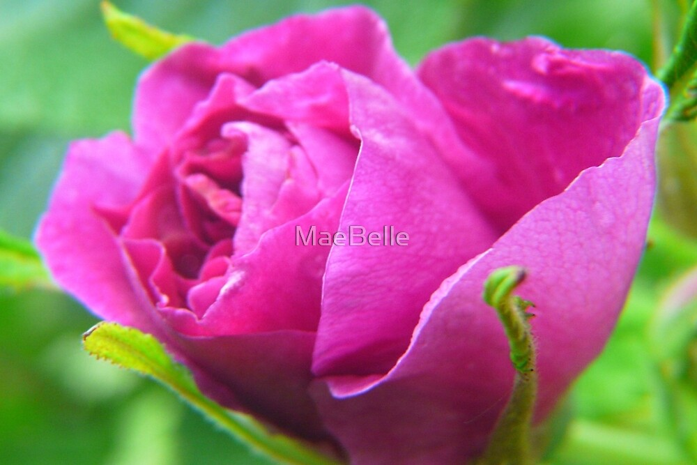 Pink Love--ly Rose Bud by MaeBelle