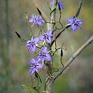 twining fringe lily by col hellmuth