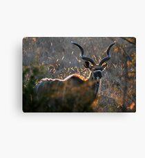 Kudu Bull Canvas Print