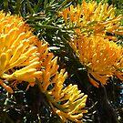 Nuytsia Floribunda  by Susan Moss