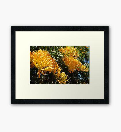 Nuytsia Floribunda  Framed Print