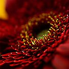 Portrait of a Gerbera by ChiaraLily