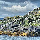 Kittiwakes On Inner Farne ~ Farne Islands by Sandra Cockayne