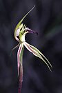 Caladenia stricta  by LeeoPhotography