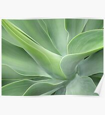 Pale Green Agave Attenuata Poster