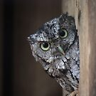 Eastern Screech Owl by D R Moore