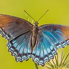 Red-spotted Purple by Leon Herbert
