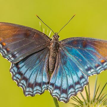 Red-spotted Purple by leonherbert