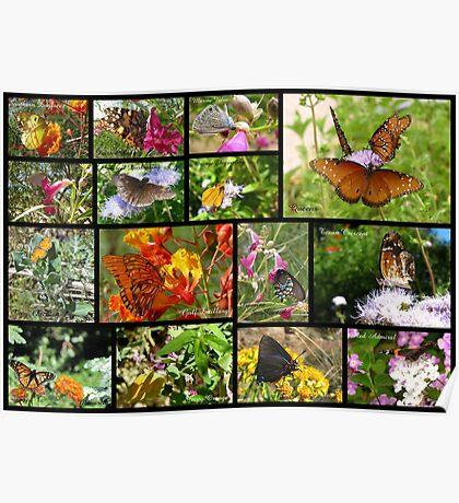 Butterflies in Arizona ~ Poster Poster