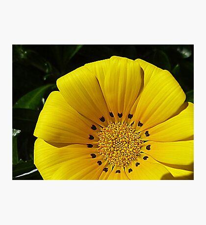 Hibbertia - has variegated foliage- Oct. 2010 Photographic Print