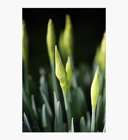 Daffodil Buds Photographic Print
