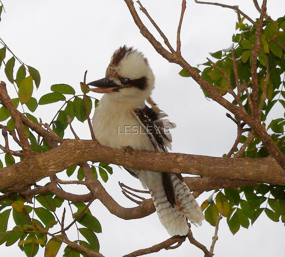 Kookaburra Tree 2 by LESLEY BUtler