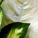 Dieffenbachia #15 by Bevellee