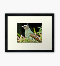 Australian Female Satin Bower Bird Framed Print