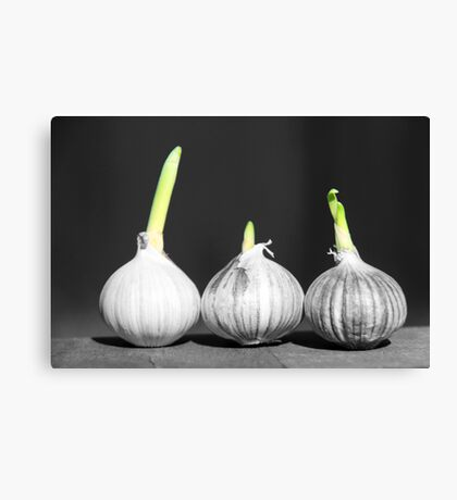 Shallot Sprouting Canvas Print