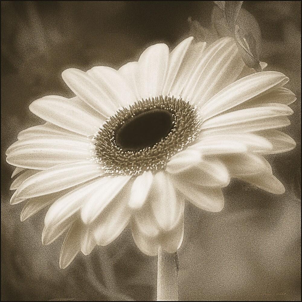 Sepia Gerbera Flower by Peter Howes