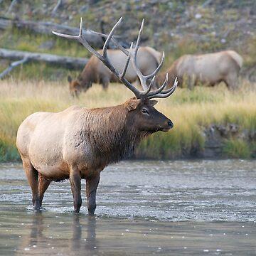 Elk by w1ldsnaps