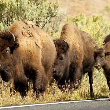 Bison by w1ldsnaps