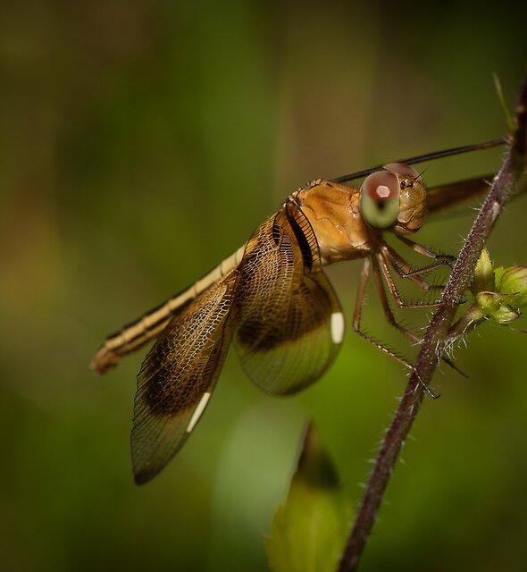 Dragonfly by Craig Hender