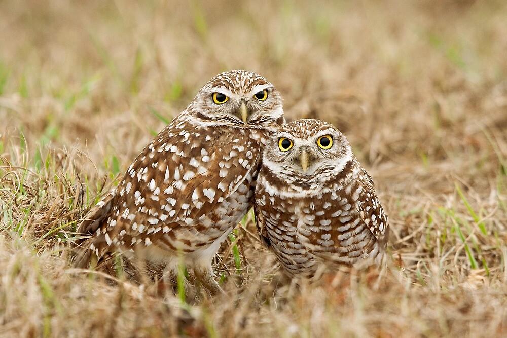 Burrowing Owls - Cape Coral, Florida by Daniel Cadieux