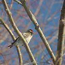 Common Redpoll by lar3ry