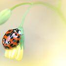Ladybird by Stephanie Hillson