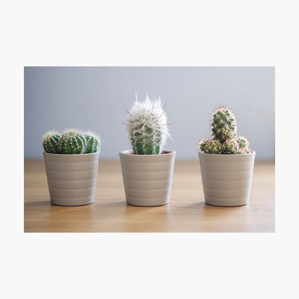 Three Cacti Photographic Print